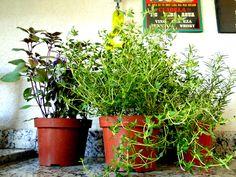 Veja dicas para plantar ervas aromáticas em casa   Tips to have your own aromatic herbs at home