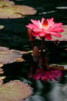 Love the reflection of the lotus flower on the water and the overall crispness and contrast of the colors.