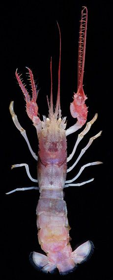 Another Mysterious Deep Sea Creature:  Scientists continue to be amazed at what they're finding! #cryptozoology #strange_creature #pink_lobster #deep_sea