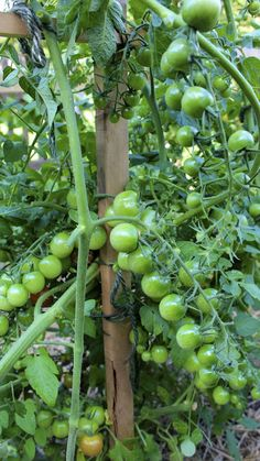 New House: Caring for Tomato Plants
