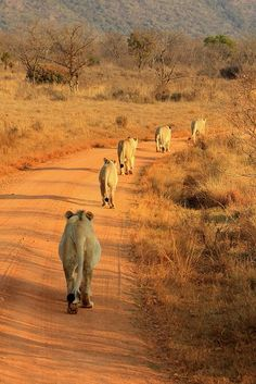 A pride of lions walking majestically in a file at Entabene Game Reserve, South Africa   by Retlaw Snellac Photography