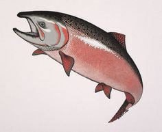 salmon pictures | Chinook Salmon