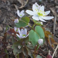 Anemonella thalictroides  (Rue Anemone) - a native woodland spring ephemeral of the eastern half of North America