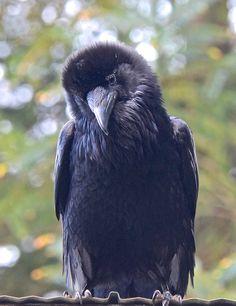 Your daily raven via Wendy Davis Facebook