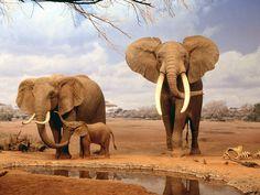 afrika   Anasayfa / Hayvanlar ve Hayvan / Afrika filleri