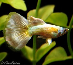 yellow delta tail guppy - should be a full rich yellow throughout, ranging from rich yellow to almost transparent