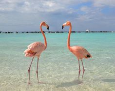 So there's a place in Aruba where you can swim and lounge about with flamingos.. on the beach!!  via @AOL_Lifestyle Read more: https://www.aol.com/article/lifestyle/2017/03/01/melania-trump-congress-sequins/21864707/?a_dgi=aolshare_pinterest#fullscreen