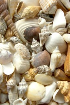 Resultado de imagen de conchas de mar