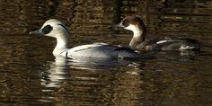 Nonnetje   (Van vroegevogels)