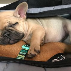 Monday mornings at the office got me like... , Frank and Oliver, the French Bulldogs @frank_and_oliver, #frenchies1 #frenchie_photos #bluelagoonfrenchies #batpig #frenchieoftheday #bayareafrenchies #frenchiepuppy #thefrenchiepost #cutedogsworldwide #frenchieworld #frenchiesociety #instafrenchies #daily_frenchie #dailybarker #frenchielovers #frenchbully #ig_bullys #squishyfacecrew #cutefrenchie #cutenessoverload #frenchiegram #lovemyfrenchie #thewoofdaily #frenchieofig #frenchielife