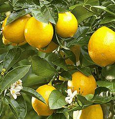 A Meyer Lemon Tree In The Kitchen Kaffir Lime On Terrace