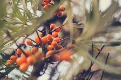Sea buckthorn by Lita Akhmetova on 500px