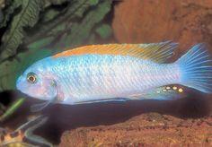 Trewavas Cichlid, Labeotropheus trewavasae, Trewavas Red-Finned Cichlid, Scrapermouth Mbuna