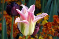 Tulipán malva