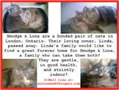 (FEBRUARY 6, 2014)  #London #Ontario #Canada Bonded pair of kitties Smudge & Luna need a forever home! RT! #Urgent See Photo for INFO!