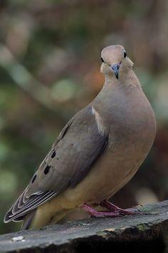 43 Best Turtle Dove Images In 2018 Little Birds Beautiful Birds