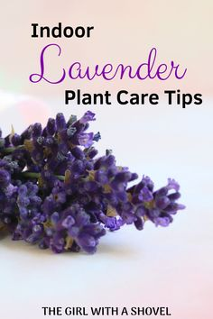 Do you want to grow your own lavender indoors? Check out these indoor lavender plant care tips to keep your lavender plant happy and healthy! Indoor Lavender Plant, Lavender Plant Care, Indoor Plants, Indoor Gardening, Indoor Farming, Indoor Flowers, Urban Gardening, Hydroponic Gardening, Urban Farming