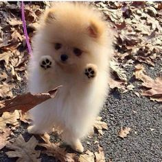 Adorable Little Baby Pomeranian Puppy having fun with the Autumn Leaves - Animals ~~Group Board - Baby Animals Pictures, Cute Animal Pictures, Animals And Pets, Animal Pics, Adorable Pictures, Dog Pictures, Cute Little Animals, Cute Funny Animals, Cutest Animals
