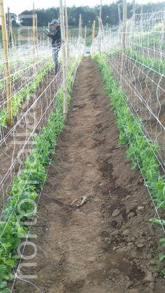 Long Bean, Vines, Vineyard, Beans, Gardening, Outdoor, Snap Peas, Vegetables Garden, Trellis