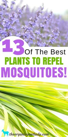 13 Plants That Repel Mosquitoes! - The Organic Goat Lady Plants . 13 Plants That Repel Mosquitoes! - The Organic Goat Lady Plants That Repel Mosquitoes, Natural Insect Repellent, Best Mosquito Repellent Plants, Gardening Tips, Herbs In The Garden Best Mosquito Repellent Plants, Mosquito Repelling Plants, Insect Repellent Plants, Plants That Repel Bugs, Cool Plants, Bug Spray For Plants, Colorful Plants, Organic Gardening, Gardening Tips