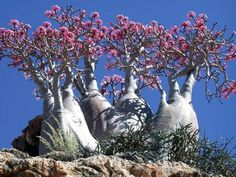 Island's Endangered Trees Seem From Another World
