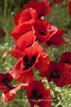 intensely red poppies Greece