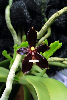 Phalaenopsis cornu-cervi f. chattaladae, by Mikaels orchids, via Flickr. This form of P. cornu-cervi was determined to be a extremly dark Phalaenopsis cornu-cervi f. chattaladae by Mr. Grove