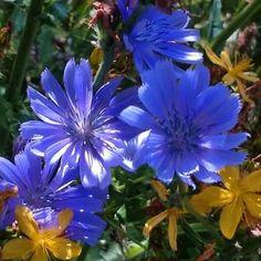 chicory blomst - Google-søk
