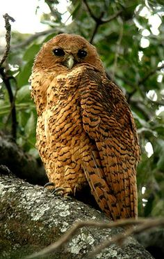 South African Owls, About Owls, Birds of Prey Pels fishing Owl Owl Photos, Owl Pictures, Beautiful Owl, Animals Beautiful, Owl Bird, Pet Birds, South African Birds, Nocturnal Birds, Photo Animaliere