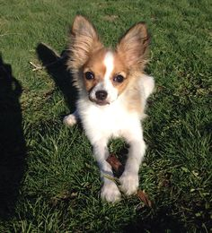 """My baby """"Posh"""" she is Papillon pup and I love her bunches!!"""