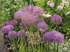 Container Gardening, Gardening Tips, Summer Flowering Bulbs, Beneficial Insects, Mauve Color, Shades Of Purple, Bees, Summertime, Garden Design
