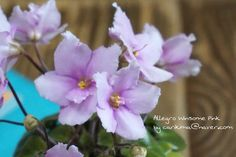 #Africanviolet  #miniature  #Allegro_Winsome_Pink