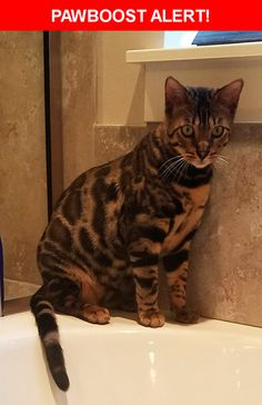 Please spread the word! Jagger was last seen in Payson, UT 84651.  Description: Our bengal cat Jagger got out at night when our front door was not shut properly. He was wearing a break away collar and a tag at the time he got out.   Nearest Address: 829 Christley Lane, Elk Ridge, UT, United States