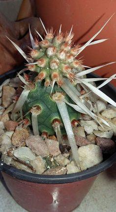 Teprhocactus articulatus papryacanthus