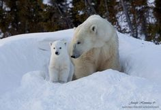 (via Polar Bear Mother & Cub by David Hemmings / 500px)