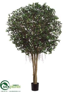 Ficus Retusa Tree - Green Two Tone - Pack of 1