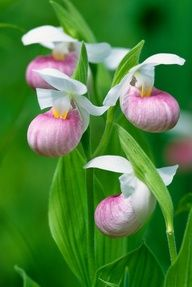 Showy Lady Slipper, have seen these growing wild in boggy areas in northern Michigan.  They are large and indeed showy.