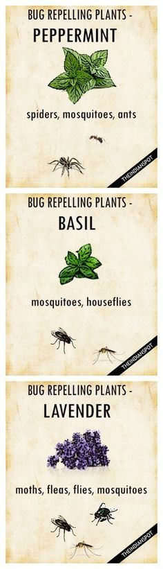 PLANTS THAT KEEP BUGS AWAY  Worried how to repel mosquitoes and houseflies naturally? Simply get your garden area some pots of basil, and you are done. It belongs to the family of powerful, pungent herbs that can perfect companions to keep the bugs away.