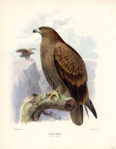 1880 Tawny Eagle Print Hanhart Large by AntiquePrintGallery