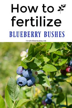 Easy DIY tips for fertilizing blueberry bushes in your garden the RIGHT way. How to fertilize blueberry bushes and how to test the pH level of your soil. Find out how to apply vinegar and coffee grounds as a natural fertilizer. Veg Garden, Fruit Garden, Edible Garden, Vegetable Gardening, Garden Plants, Garden Tools, Gardening For Beginners, Gardening Tips, Container Gardening