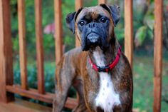 gorgeous brindle Maizey boxer dog