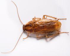 http://www.bugs.com/bugs_database/roaches/german_roach.asp #Just Call #Hulett!