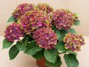Pistachio Hydrangea is a compact growing Mophead Hydrangea to 3' tall & wide.