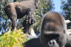 El bebé gorila Ebo | Ebo, the baby gorilla | www.bioparcvalencia.es