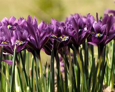 Iris! Love these! I NEED to add some to my garden!
