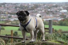 posing pug by Roxanne Bunn on 500px