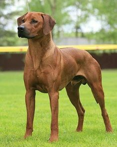 german shepherd dogs - You guys know me I cant resist a fit show dog This is a Rhodesian Ridgeback A gorgeous hunting breed originating in Africa Rhodesian Ridgeback Puppies, Bloodhound Dogs, Purebred Dogs, Love My Dog, Lion Dog, Dog Cat, Perros Pit Bull, Big Dog Breeds, Huge Dogs