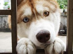 """""""Can I come in?"""" -Husky"""
