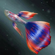 I believe this a fancy tail guppy