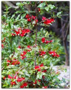 Ócna – Ochna serrulata  A ócna é uma planta arbustiva, decídua, de textura lenhosa e florescimento e frutificação ornamentais. De porte médio, alcança de 1 a 2 metros de altura, e ocasionalmente ultrapassa os 6 metros, transformando-se em arvoreta.  http://sergiozeiger.tumblr.com/post/113508149813/ocna-ochna-serrulata-a-ocna-e-uma-planta  As flores amarelas, delicadas e breves surgem na primavera, ao longo dos ramos. Elas atraem abelhas e borboletas. Após a queda das flores, os cálices…